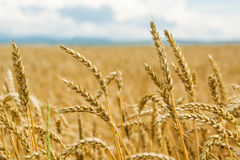 Field of wheat ears  and blue sky Stock Photos