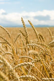 Field of wheat ears  and blue sky Royalty Free Stock Photo
