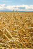 Field of wheat ears  and blue sky Stock Photo