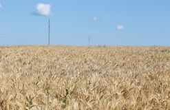 Field. Wheat ears. Cereals. Beautiful view of the wheat field. Harvest of bread. Wheat, rye. Royalty Free Stock Photos
