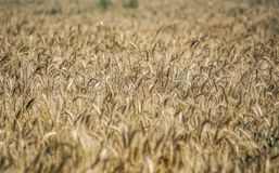 Field. Wheat ears. Cereals. Beautiful view of the wheat field. Harvest of bread. Wheat, rye. Royalty Free Stock Image