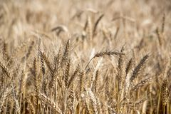 Field. Wheat ears. Cereals. Beautiful view of the wheat field. Harvest of bread. Wheat, rye. Royalty Free Stock Photography