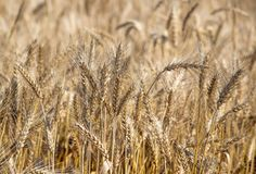 Field. Wheat ears. Cereals. Beautiful view of the wheat field. Harvest of bread. Wheat, rye. Royalty Free Stock Images