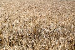 Field. Wheat ears. Cereals. Beautiful view of the wheat field. Harvest of bread. Wheat, rye. Stock Photo