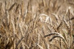 Field. Wheat ears. Cereals. Beautiful view of the wheat field. Harvest of bread. Wheat, rye. Stock Photos