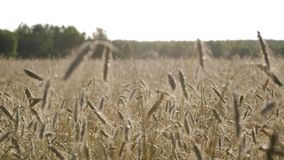Field of wheat. The ears swing slowly in the wind. Wheat field. The ears swing slowly in the wind in the setting sun stock video footage