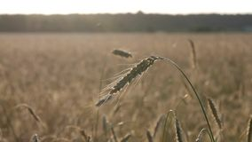 Field of wheat. The ears swing slowly in the wind. Wheat field. The ears swing slowly in the wind in the setting sun stock video