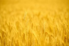 Field of wheat  at the end of summer fully ripe Stock Photos
