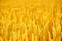 Field of wheat  at the end of summer fully ripe Stock Photo