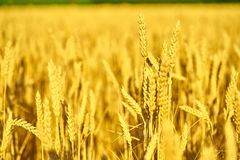 Field of wheat  at the end of summer fully ripe Royalty Free Stock Images