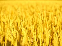 Field of wheat  at the end of summer fully ripe Stock Photography