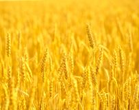 Field of wheat  at the end of summer fully ripe Royalty Free Stock Photography