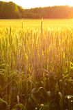 Field of wheat in the evening sun stock photos