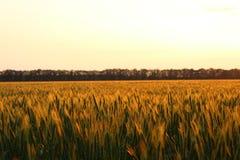 Field wheat. Stock Photos