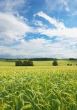 Field of wheat - farmland Stock Photos