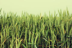 Field of wheat. filtered image with retro style effect Royalty Free Stock Photography