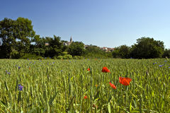Field of wheat with flowers Stock Photos