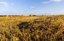 Field wheat. Golden dry wheat straw lying in piles and rows and some twisted into stacks, harvesting grain in summer, against the background of blue sky Royalty Free Stock Image