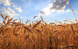 Field of wheat. Grain field against blue sky, rays of the sun, wide angle view Royalty Free Stock Photos