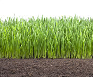 Field Wheat Grass Soil. A field of young green wheat grass with a white background and a dirt base Royalty Free Stock Photo