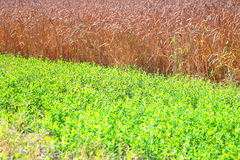 Field of wheat and green grass Royalty Free Stock Photo