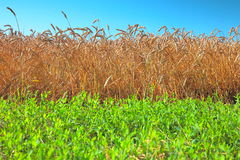 Field of wheat and green grass Royalty Free Stock Photos