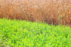 Field of wheat and green grass Royalty Free Stock Image