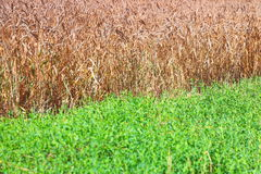 Field of wheat and green grass Stock Photo