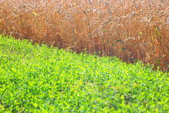 Field of wheat and green grass Royalty Free Stock Images