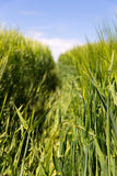 Field with wheat in growth Stock Images