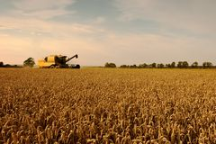 Field of wheat, harvest time. Stock Image