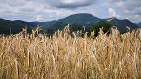 Field of wheat stock photos