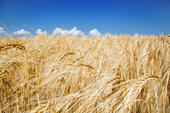 Field of wheat on hot summer day Royalty Free Stock Photography