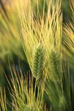 Field of wheat. Image of a wheat grass in the early summer Stock Photos