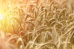 Field of wheat indicates a rich harvest - late afternoon in wheat field Royalty Free Stock Photography