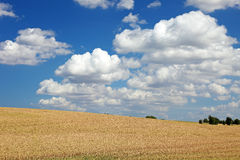 Field of wheat landscape. Royalty Free Stock Photo