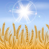 Field of wheat landscape background. Field of wheat landscape. Vector agriculture background design Stock Photos