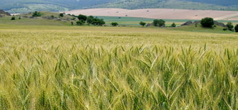 Landscape. Field of wheat Royalty Free Stock Photography