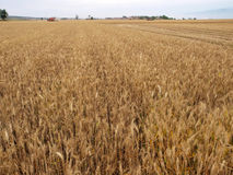 Field of wheat. Large areas of wheat mature in the field Stock Photos