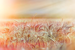 Field of wheat in the late afternoon Royalty Free Stock Photo
