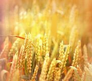 Field of wheat in the late afternoon Royalty Free Stock Photography