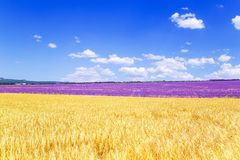 Field of wheat and lavender field in Crimea. Magnificent summer landscape. Natural cosmetics, aromatherapy, agriculture royalty free stock image