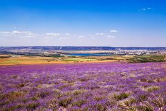 Field of wheat and lavender field in Crimea