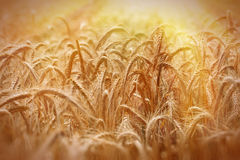 Field of wheat lit by the sun's rays Stock Images
