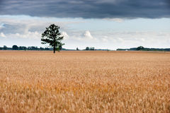 Field of Wheat and Lonely tree in background Stock Photography
