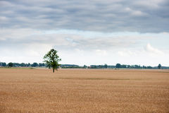 Field of Wheat and Lonely tree in background Royalty Free Stock Images