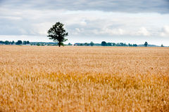 Field of Wheat and Lonely tree in background Royalty Free Stock Image