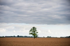 Field of Wheat and Lonely tree in the middle. Royalty Free Stock Photos
