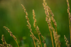 Field of wheat. In the middle of nature Stock Image