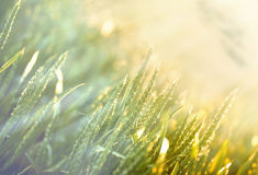 Field of wheat in the morning Stock Image